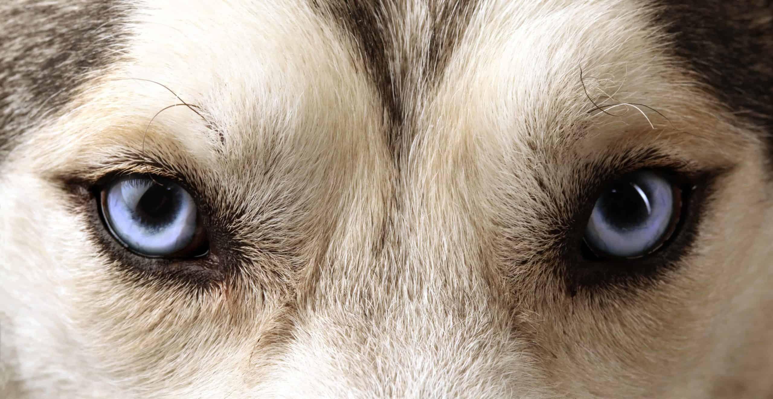Closeup image of a Husky's eyes.