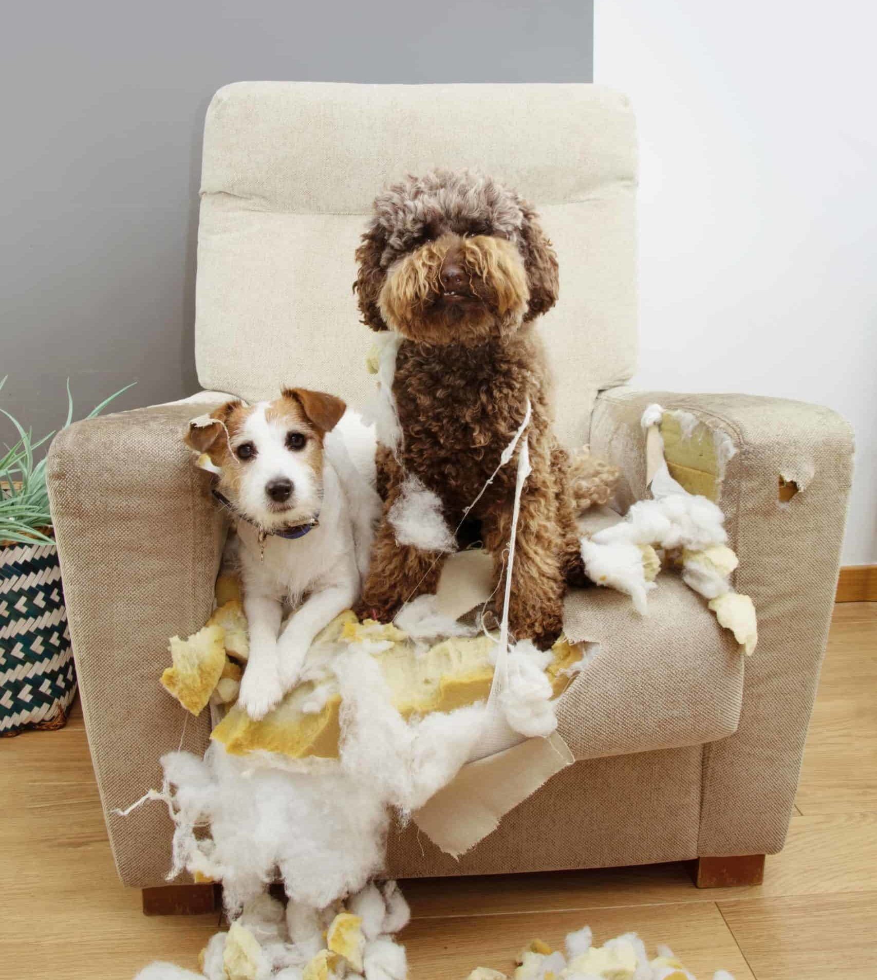 Two dogs sit in ruined chair. Safeguard your home and keep your puppy occupied during its teething phase. Use these hacks to protect your furniture from a teething puppy.