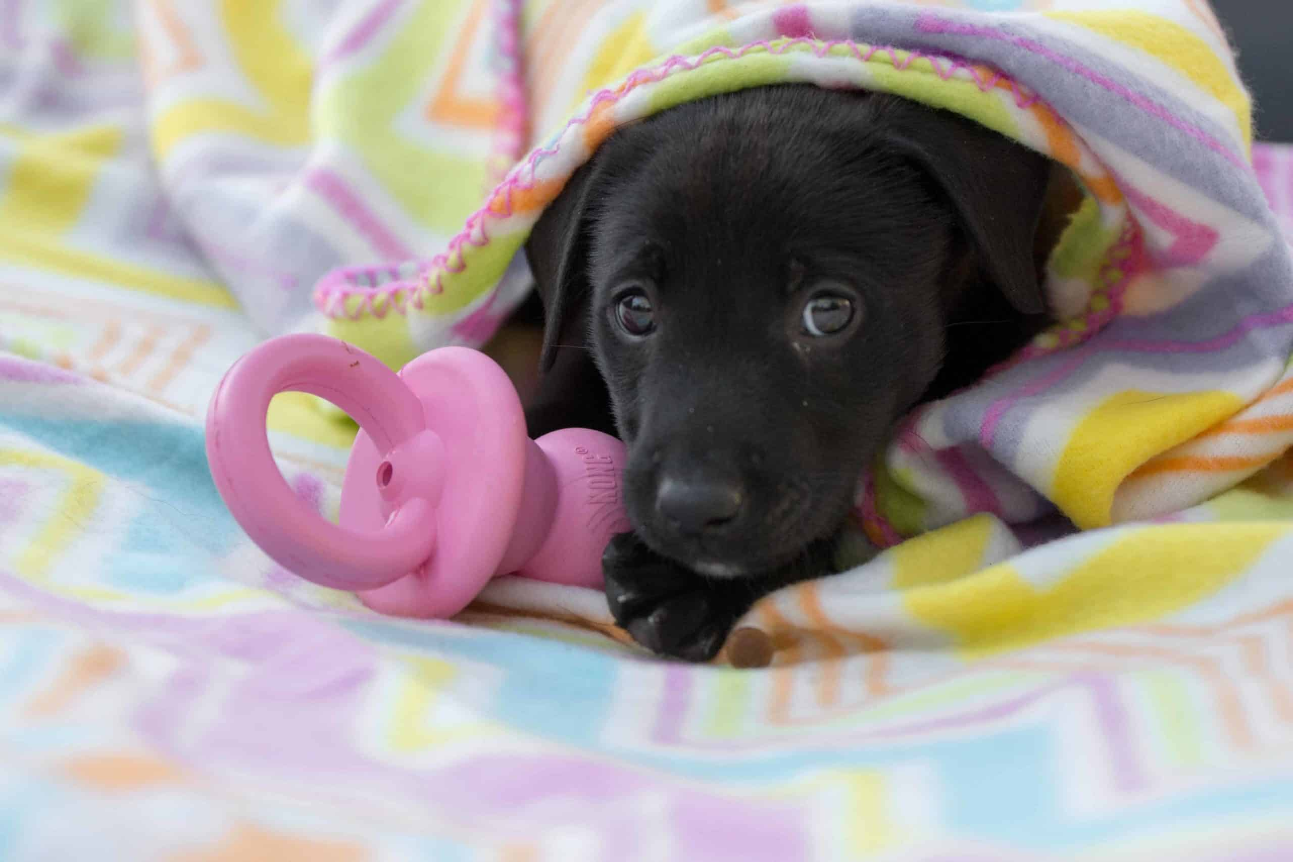 Puppy chews on Kong binkie toy. To help ease puppy teething pain, try using frozen rubber toys. The cold sensation will temporarily alleviate their pain and provide them with some much-needed respite.