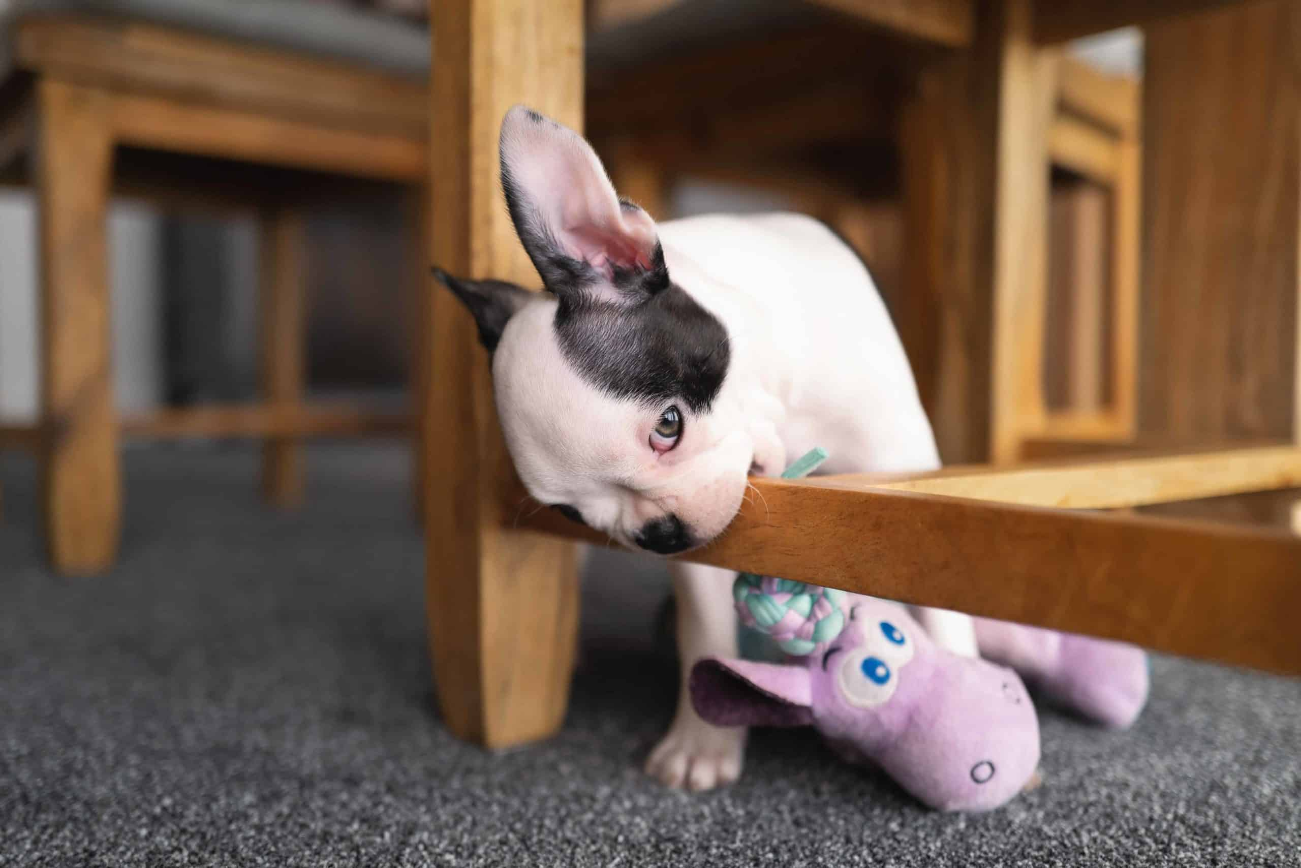 French bulldog chews on table. Stop teething puppy from chewing on furniture using toys and games, taste deterrents, and training.