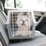 Shih Tzu rides in a crate in the backseat of a car. Protect your travel companion by keeping your dog secure in the back seat.