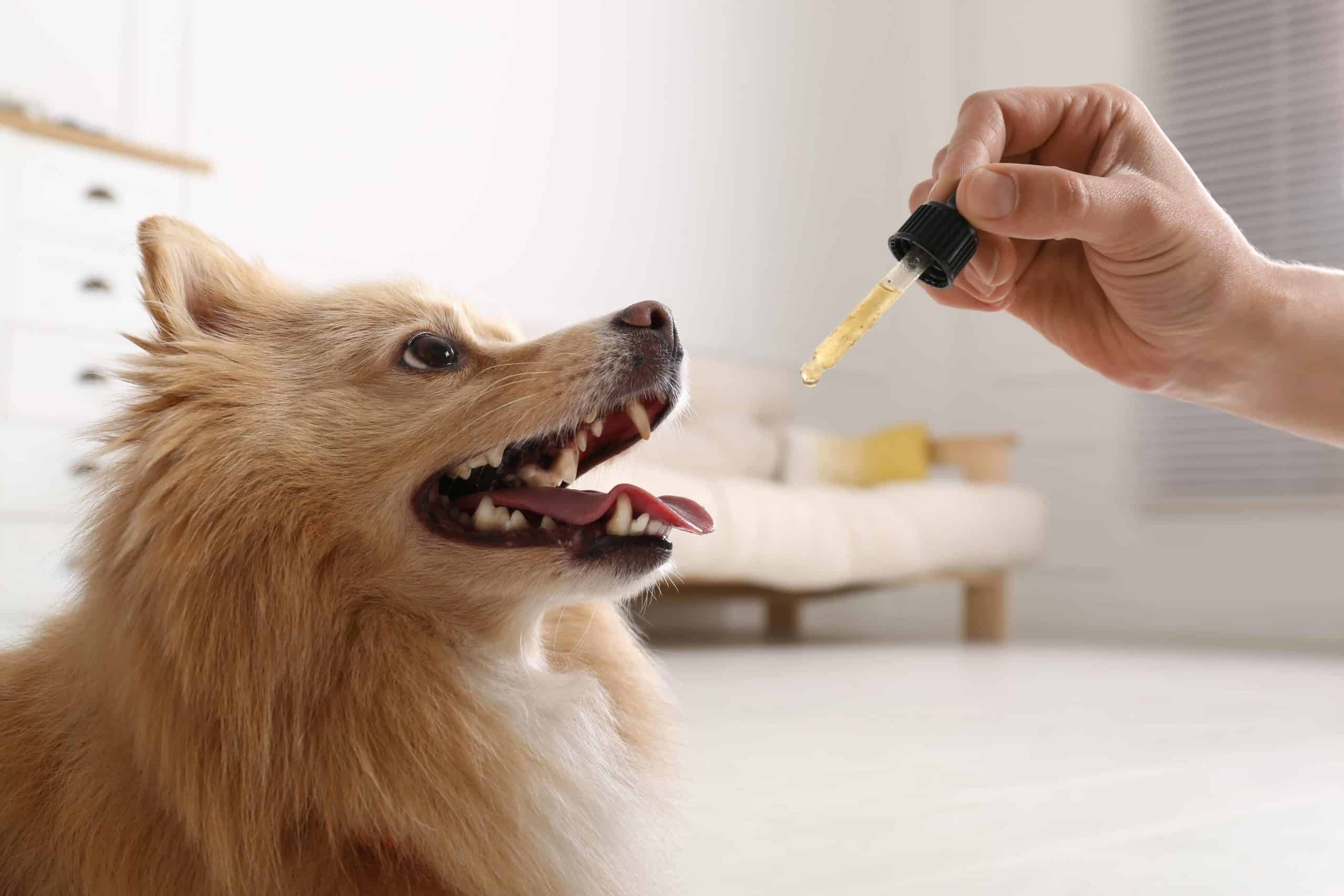 Owner gives dog CBD oil using a dropper. Using a dropper with CBD oil is one of the most direct CBD options for dogs.