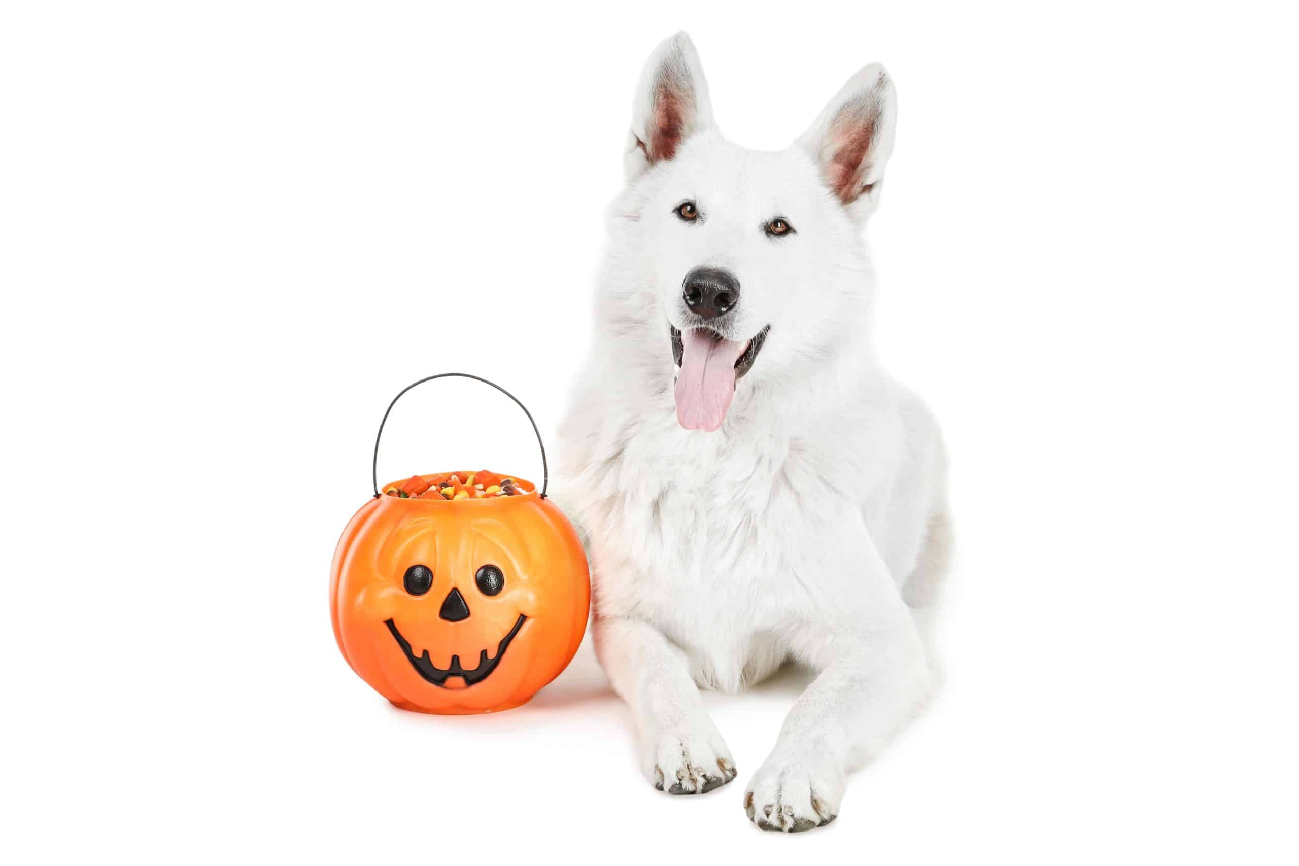 White German Shepherd sits next to Halloween pumpkin filled with candy corn. Can dogs eat candy corn? Small amounts are safe. But watch for ingredients like sugar substitute xylitol and dyes that can be dangerous.