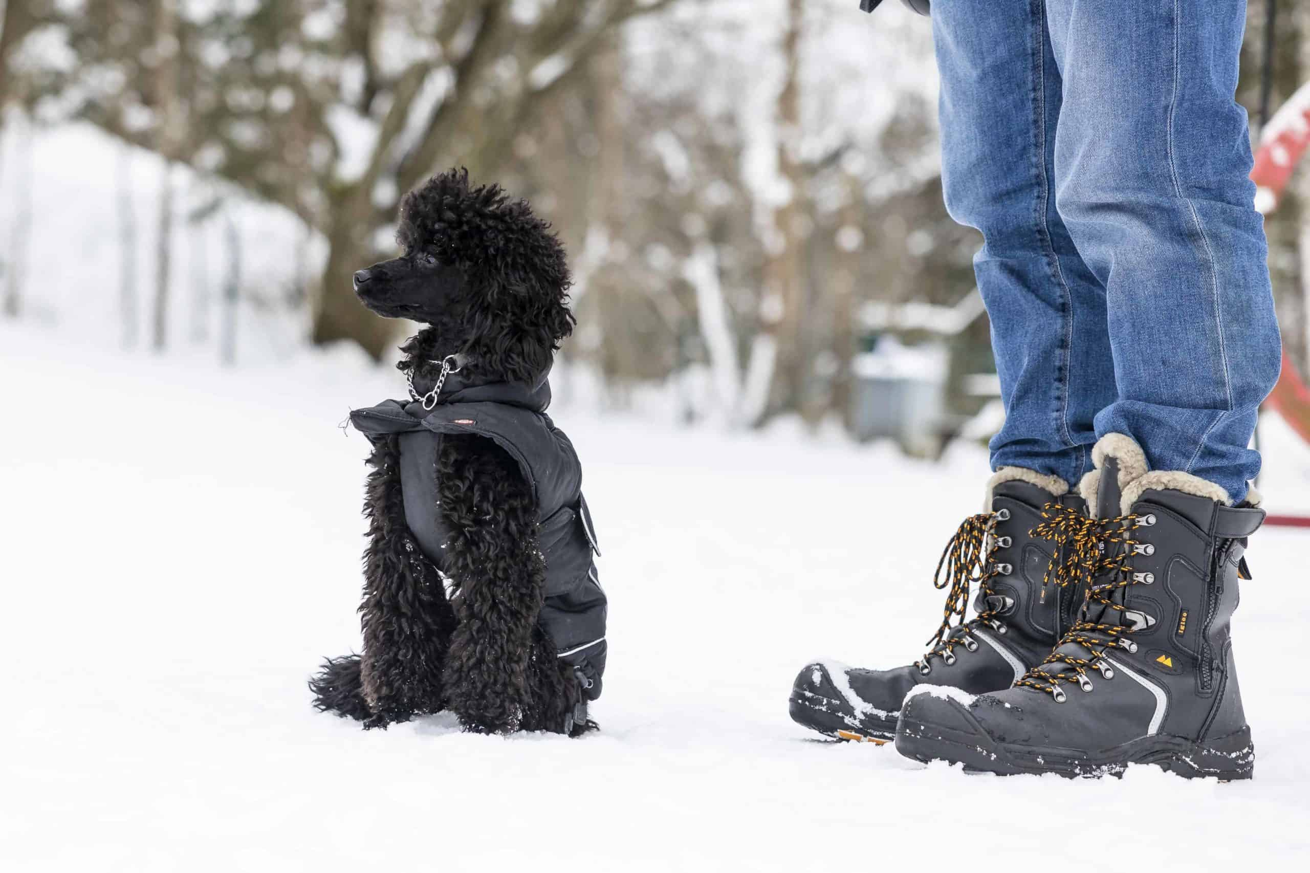 Small black Poodle wears winter coat. Dog owner wears jeans and snow boots. Wondering can poodles handle cold weather? The simple answer is yes. Take precautions like using booties and a coat to protect your dog.