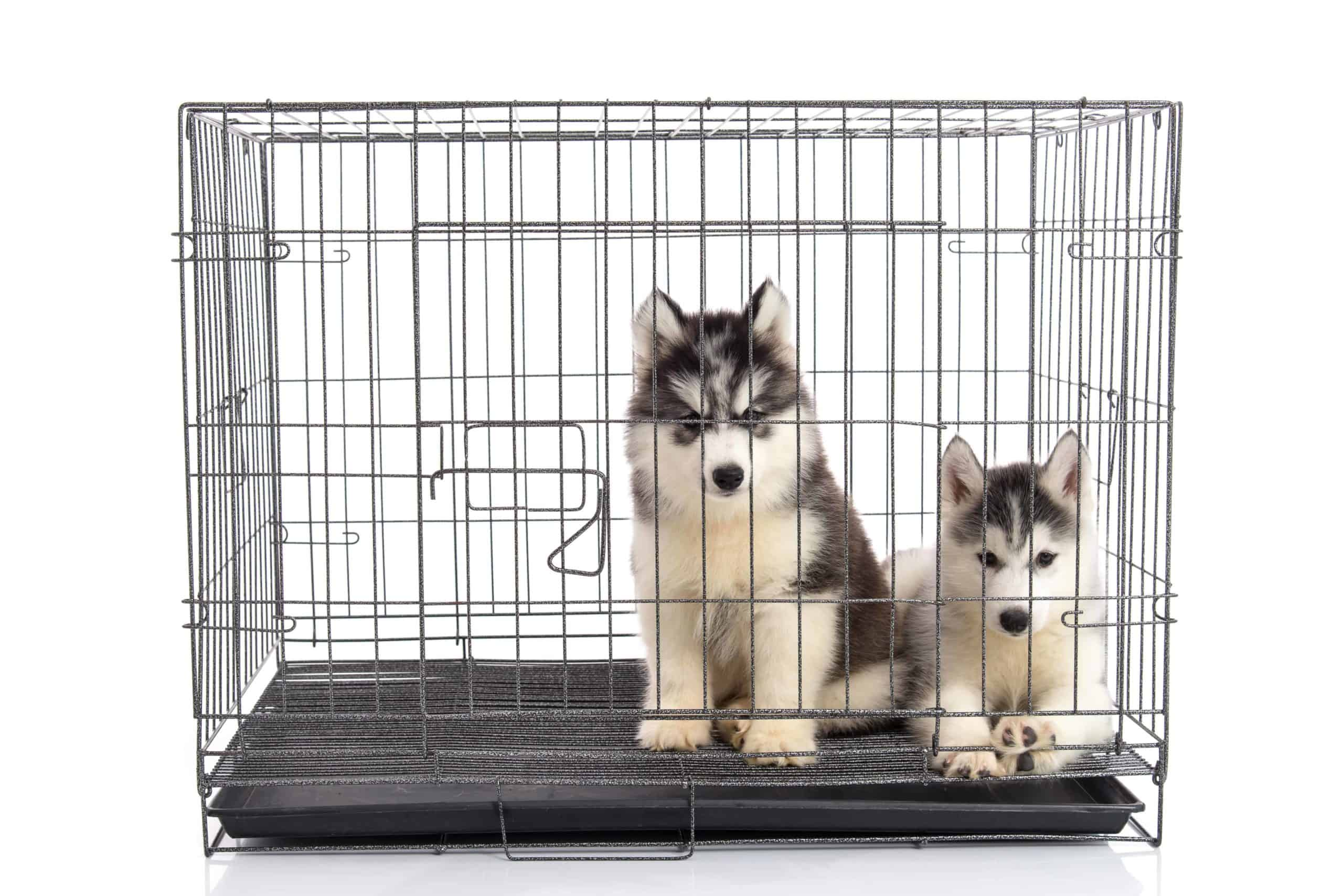 Two Husky puppies snuggle in a metal crate.