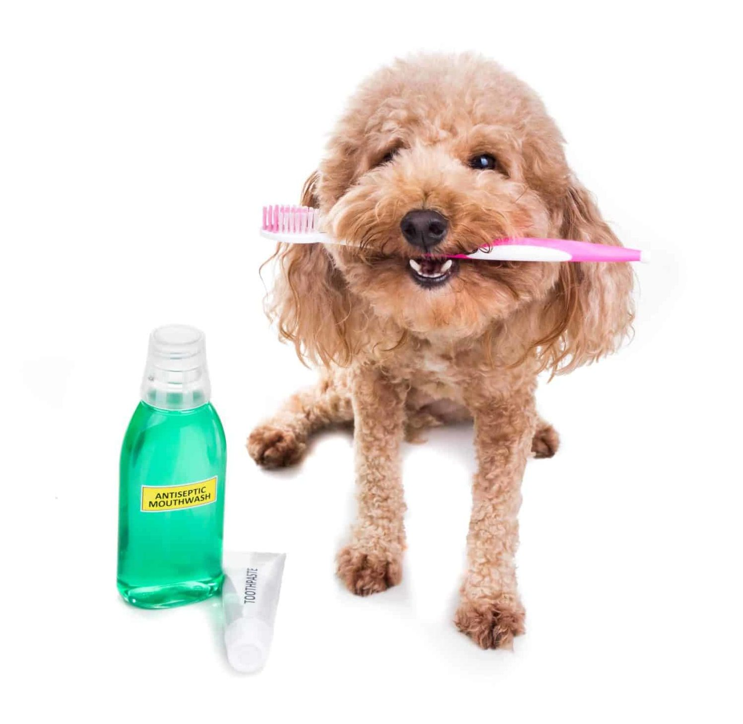 Photo illustration of a poodle with toothbrush, toothpaste, and dog mouthwash.