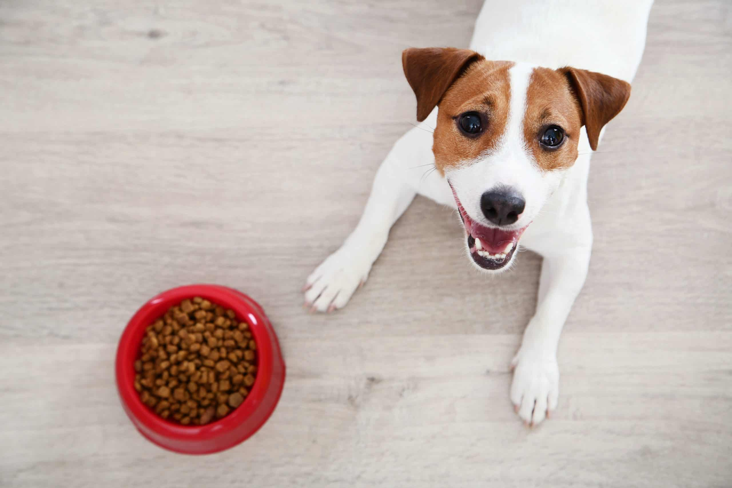 Happy Jack Russell Terrier with a bowl of dry dog food. Keeping your dog at a healthy weight is essential for keeping your dog safe and happy.