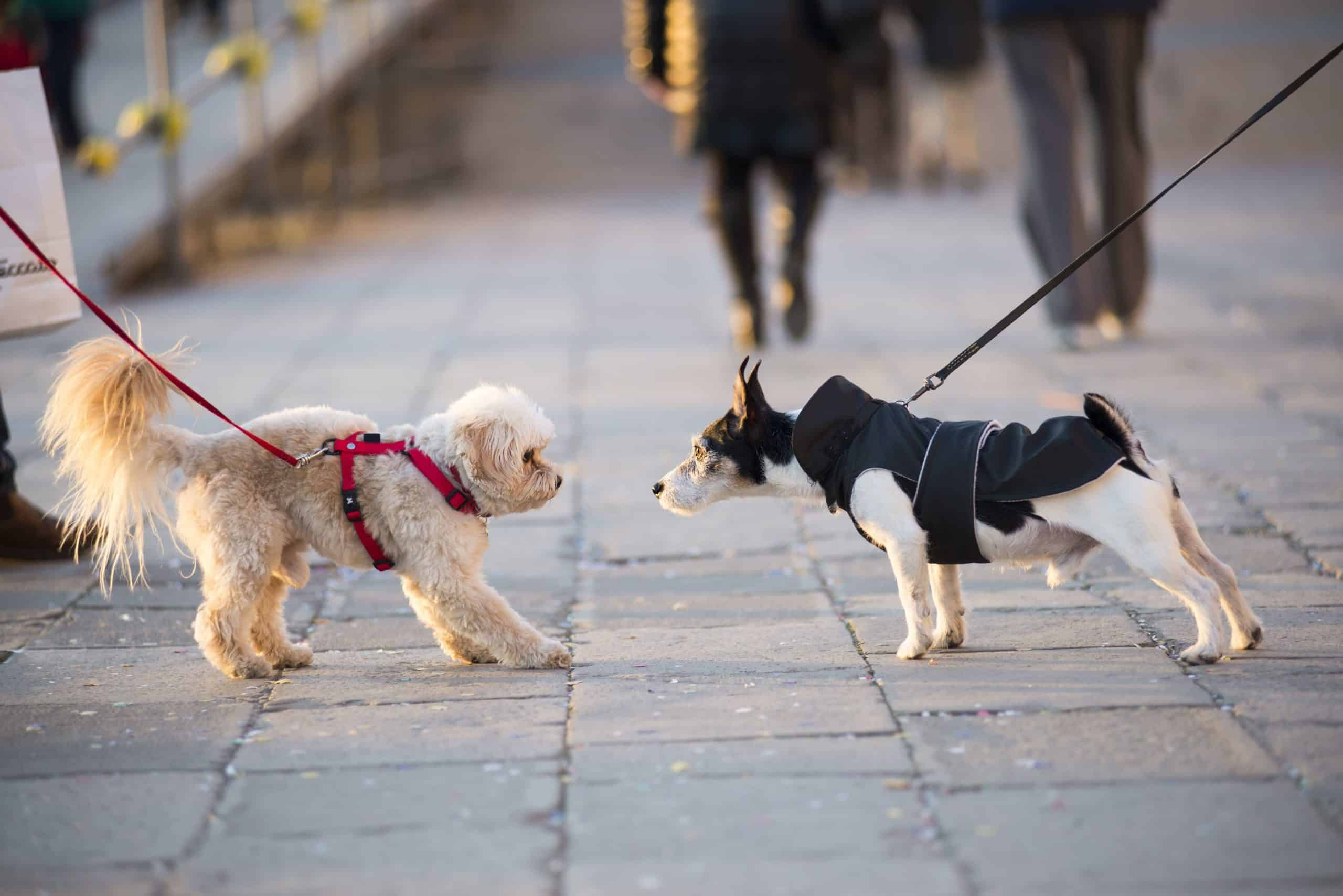 Two dogs meet. Socialization helps keep your dog safe by helping him become confident in a variety of situations.