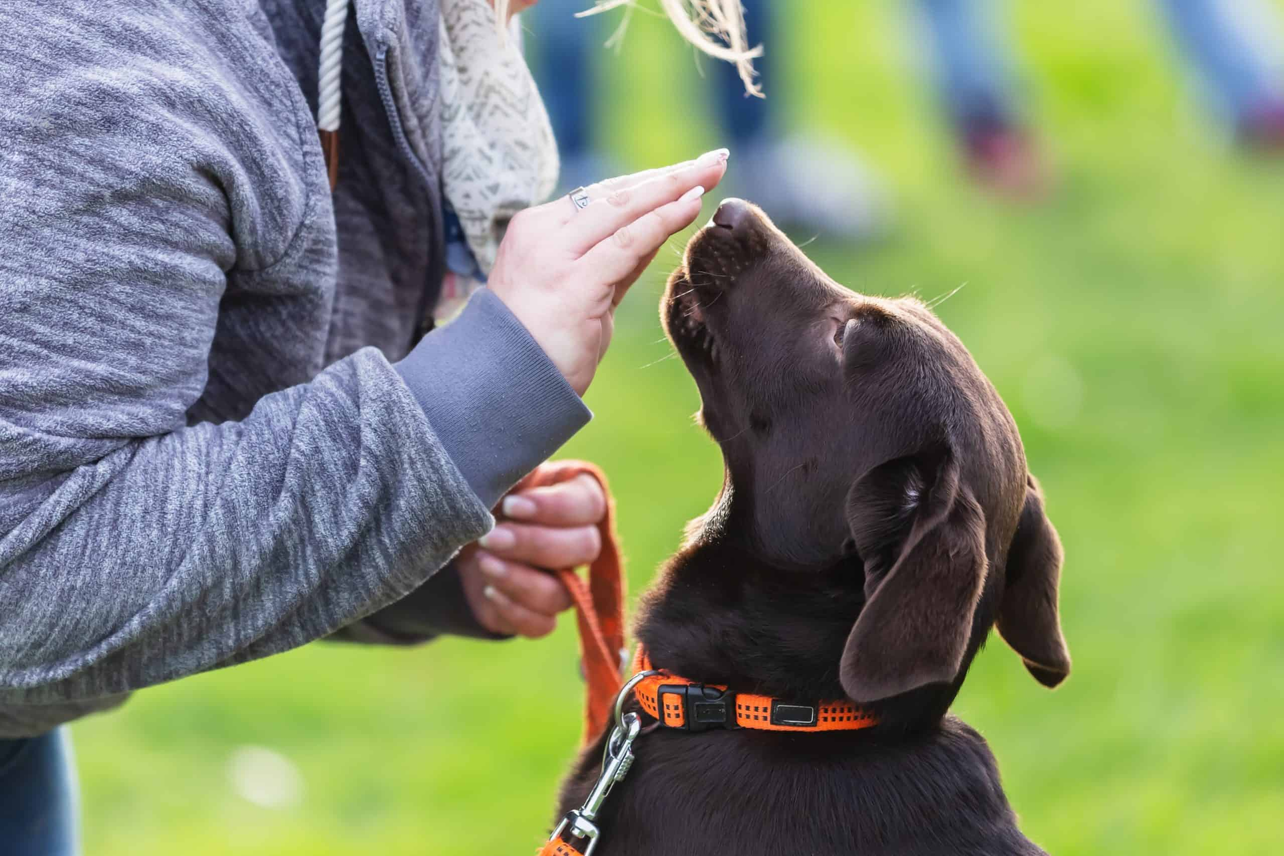 Woman trains chocolate Labrador Retriever. Keep your dog safe by teaching leave it, preventing dog fights, protecting your dog from heatstroke, and by feeding a healthy diet.