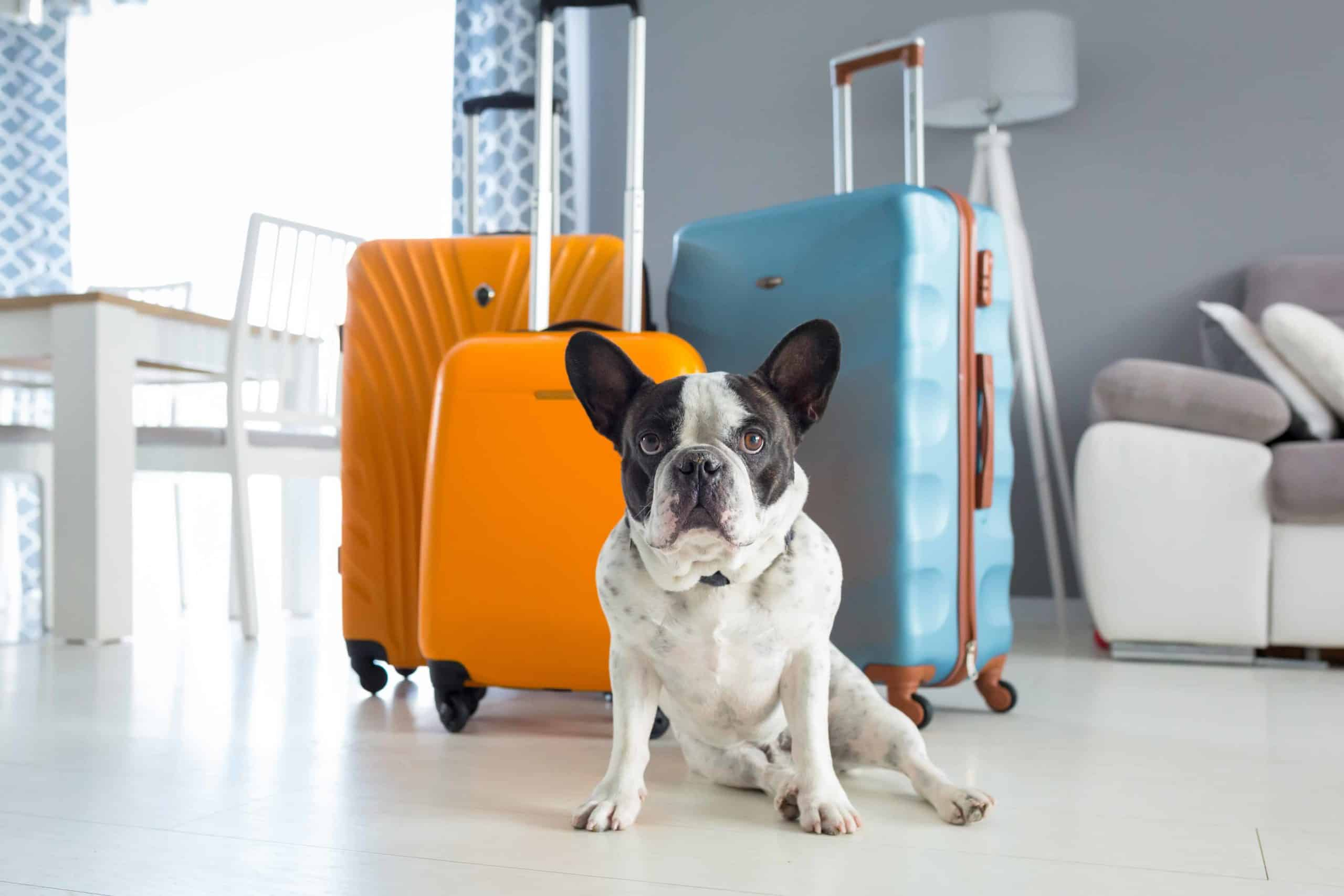 Boston terrier sits with suitcases. Dog travel guide tip: Before booking a flight with your dog, contact the airline to learn if they have any breed restrictions due to temperament or health conditions.
