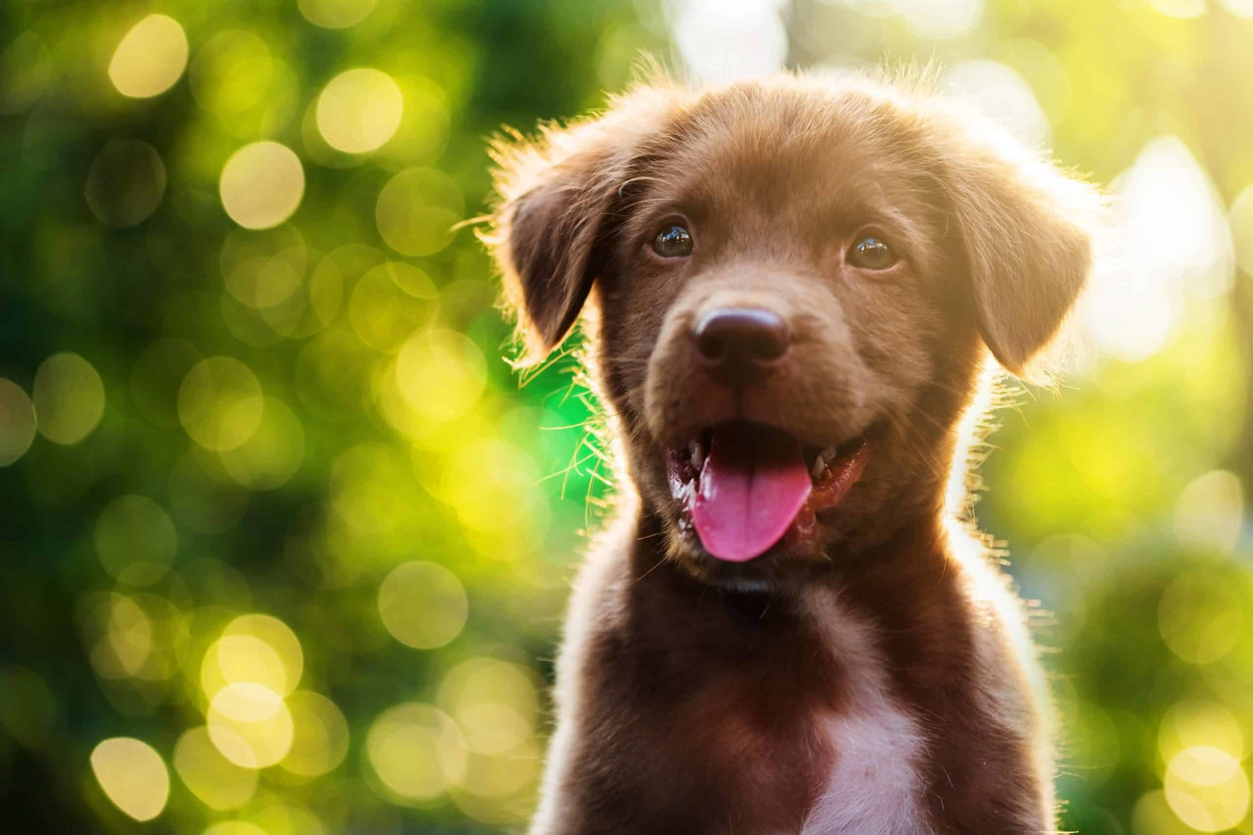 Happy chocolate Labrador puppy outside on a sunny day. Keep your dog healthy with a nutritious diet and plenty of exercise. Get pet insurance to make sure you're covered for any emergency.